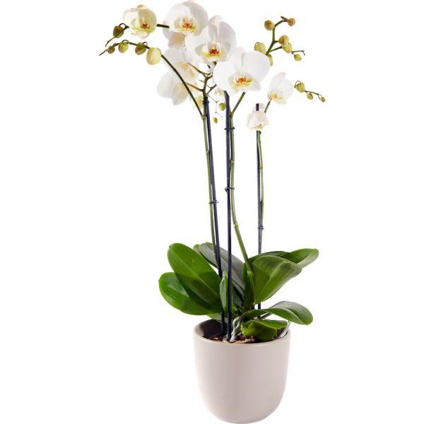 Anggrek bulan, White phalaenopsis orchid