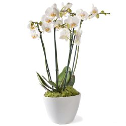 Phalaenopsis orchidee in pot, Maanorchidee, Anggrek bulan