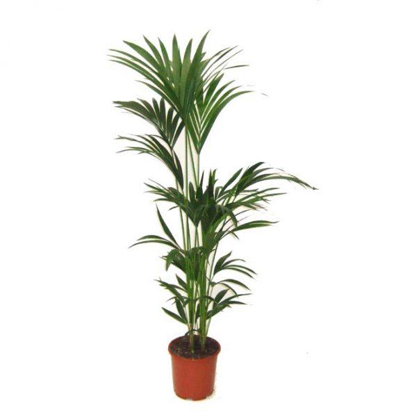 Kentia palm - Howea forsteriana