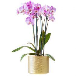 Purple phalaenopsis orchid, Anggrek bulan